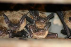 bats1lg